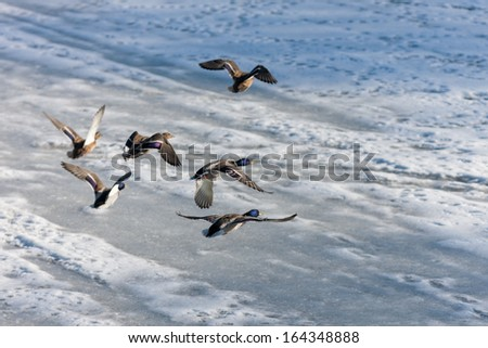 a flock of ducks flying over the winter river