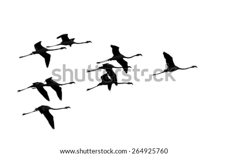 A flock of flamingos flying over the coast of the ocean in Namibia - Africa - stock photo