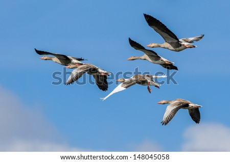 A flock of flying greylag geese (Anser anser) with a blue sky  - stock photo