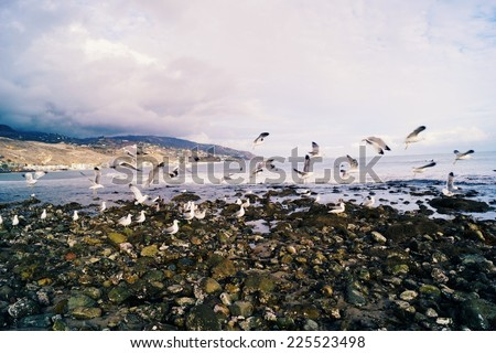 A flock of hungry seagulls foraging for food at the beach. - stock photo