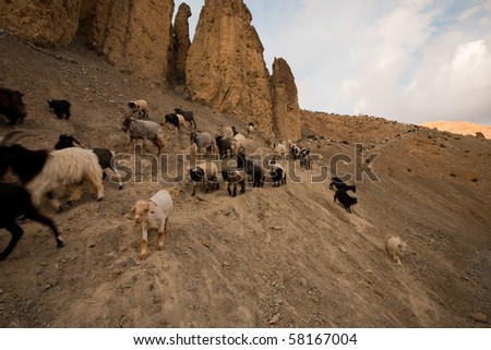 A flock of miniature goats native to northern India and its elevated climates are herded along a sloped mountainous rocky path near Dhankar a beautiful village in Spiti Valley. Horizontal