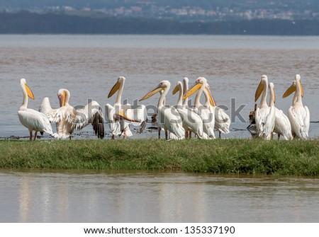 A flock of pelicans at the Lake Nakuru National Park - Kenya, East Africa - stock photo