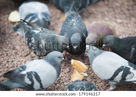 A flock of pigeons eating bread crumbs at city square in Belgrade, Serbia