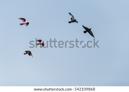A flock of pigeons flying