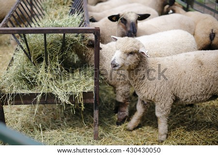 A flock of sheep eating hay - stock photo