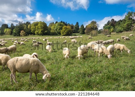 A flock of sheep eats in a meadow in late summer in the Swabian Alps, Germany.  - stock photo
