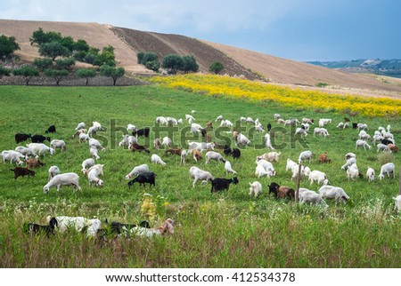A flock of sheep grazes on a green field somewhere in Sicily. focus on sheep - stock photo