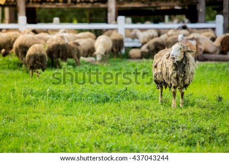 A flock of sheep grazes on a green field somewhere in thailand - stock photo