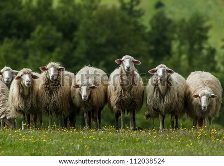 A flock of sheep grazes on a green field somewhere in Tuscany, Italy. - stock photo