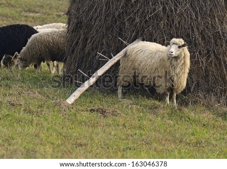 A flock of sheep grazing in the mountains