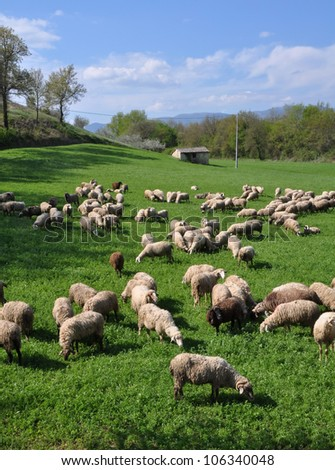 A flock of sheep grazing on a Lucerne crop in Spring sunshine, Montefalco, Umbria Italy. The sheep are milked daily to produce Pecorino cheese.