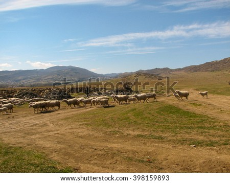 a flock of sheep grazing on the hill in sunny day in Georgia Nutsubidze Tbilisi, Lisi lake great wave of water in the hills stones dry grass and cane