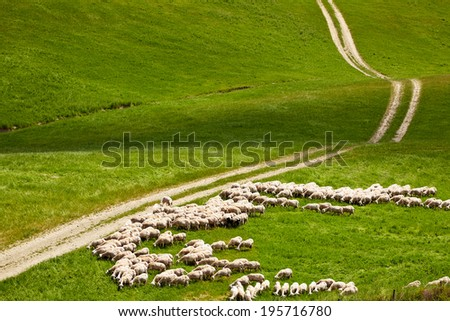 a flock of sheep grazing on the Tuscany hill - stock photo