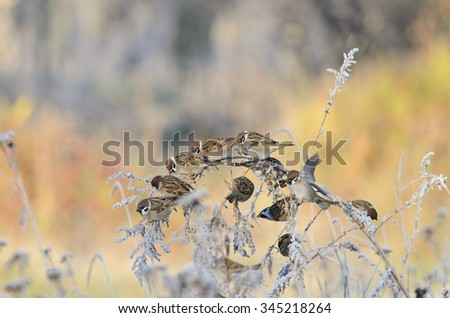 A flock of sparrows on a branch covered with frost - stock photo
