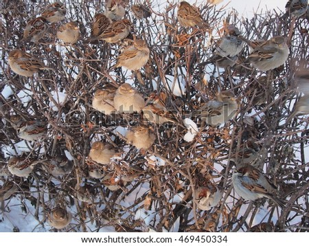 A flock of sparrows sitting on the branches of a bush. Winter and cold.