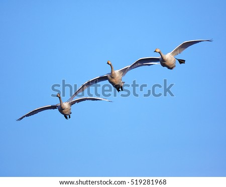 A flock of three migrating swans on blue sky background