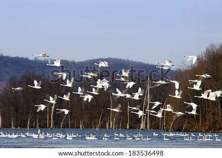 A flock of Tundra Swans fly over a lake with swans swimming in the water.  - stock photo