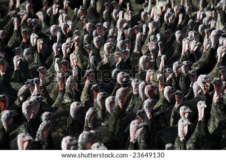 A flock of turkeys, predominantly showing heads - stock photo