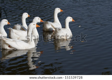 a flock of white geese swimming on the river - stock photo