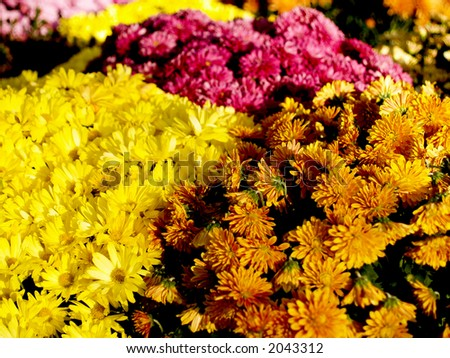 A floral background with several colors of mums.