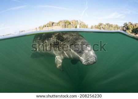A Florida manatee breathes at the surface in Crystal River, Florida.  - stock photo