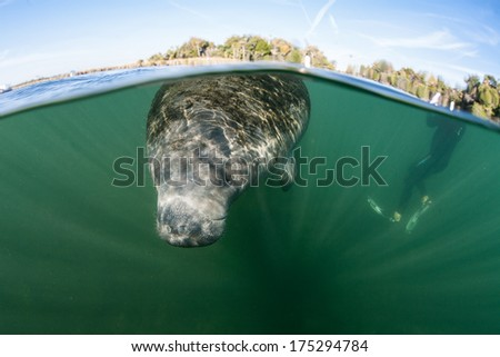 A Florida manatee (Trichechus manatus latirostris) rises to the surface of a freshwater spring in Florida. This marine mammal is endangered and is of great conservation concern to the government. - stock photo