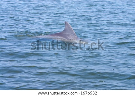 A Florida porpoise(dolphin) surfacing for a breathe of air
