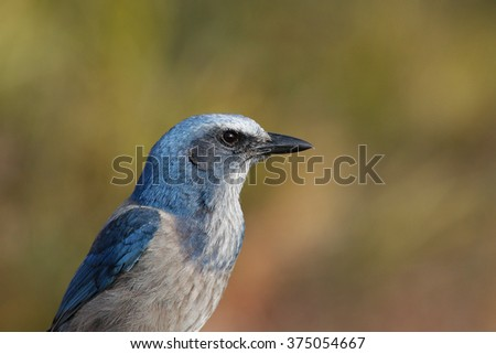 A Florida Scrub Jay (Aphelocoma coerulescens) in the scrubland of central Florida, USA.