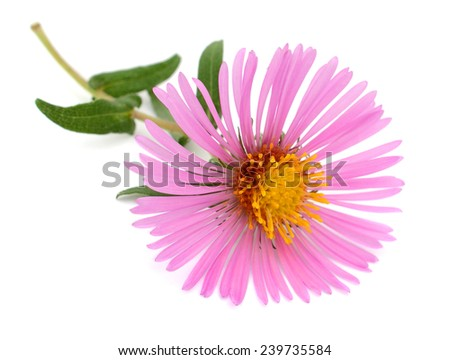 A flower (Asteraceae) of New England Asters, Aster family  - stock photo