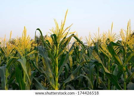 A flower corn field in farm - stock photo