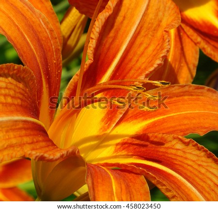 a flower is a lily with pollen