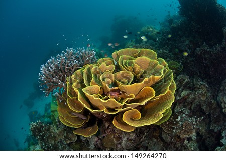 A flower-like array of foliose corals grows on a reef slope in the Solomon Islands.  This area is found within the Coral Triangle and is high biological diversity. - stock photo
