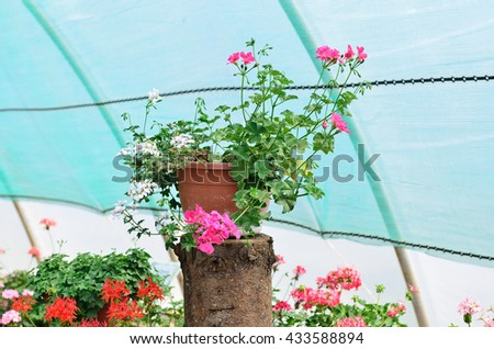 A flower pot with the pink geranium on the stump.  /  Flower pot on the stump