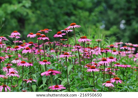 A flowerbed of pink echinacea on natural setting - stock photo