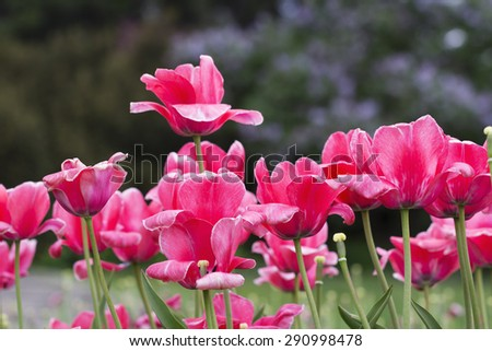A flowerbed of red tulips in early spring - stock photo