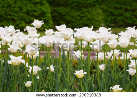 A flowerbed of white tulips in early spring - stock photo