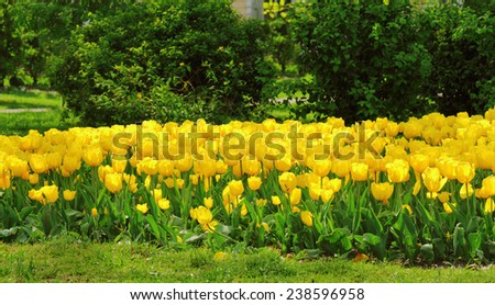 A flowerbed of yellow tulips in May - stock photo