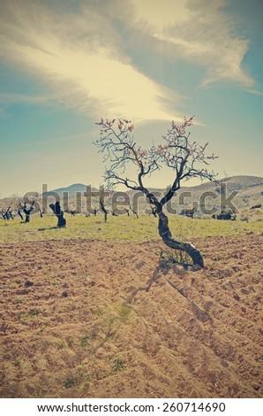a flowering almond tree - stock photo