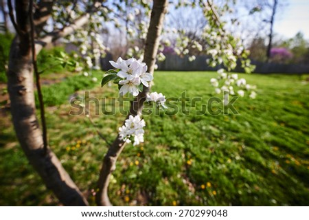 a flowering apple tree in a yard during Spring - stock photo