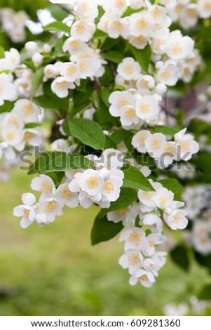 Flowering bush jasmine white fragrant flowers stock photo download a flowering bush of jasmine with white fragrant flowers under the window of the house mightylinksfo