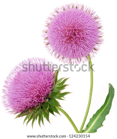 A flowering thistle isolated white - stock photo