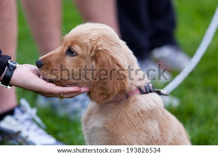 A fluffy golden puppy gives a woman's hand kisses as she is petting it. - stock photo