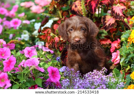 A fluffy Labrador Retriever and Poodle mix puppy sits in a colorful garden. - stock photo