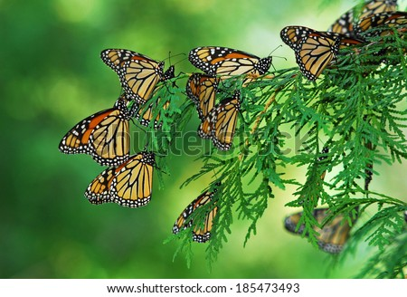 A flutter of monarch butterflies  (Danaus plexippus) clustered on branch of green arbor vitae tree during fall migration