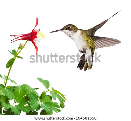 A fluttering ruby throated hummingbird with an open tail, dives into a bright red columbine flower blossom. On a white background - stock photo