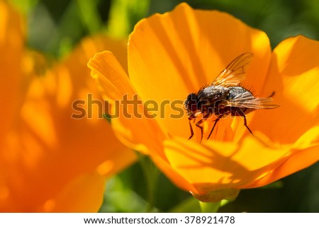 A fly on a yellow poppy