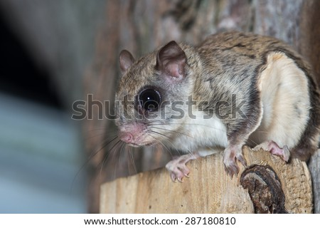 A flying squirrel clings to the side of a tree near a corn feeder on a summer night in eastern Illinois - stock photo