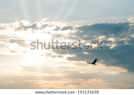 a flying stork at sunset