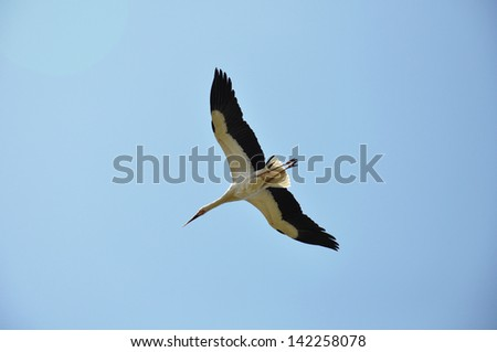 A flying stork in the sky - stock photo