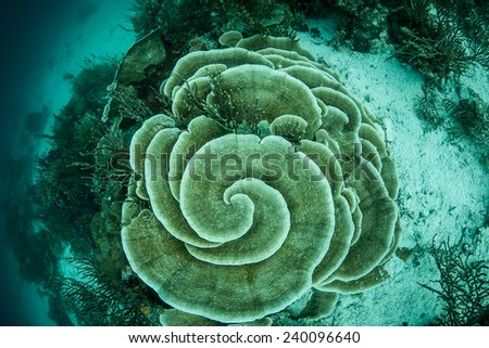 A foliose coral grows on a reef in the tropical western Pacific. Foliose corals grow similar to the way some plants grow, arranging themselves so that much of their surface is exposed to sunlight. - stock photo